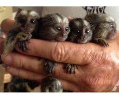 Adorable Finger Marmoset Monkeys Ready Now